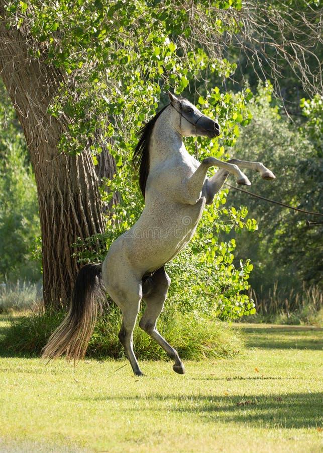 Garanhão de Gray Arabian com juba preta e a cauda que elevam em um campo verde com uma árvore no fundo imagem de stock royalty free