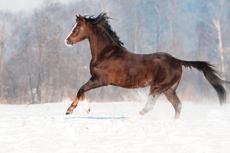 Garanhão do pônei de Brown galês no inverno fotos de stock royalty free
