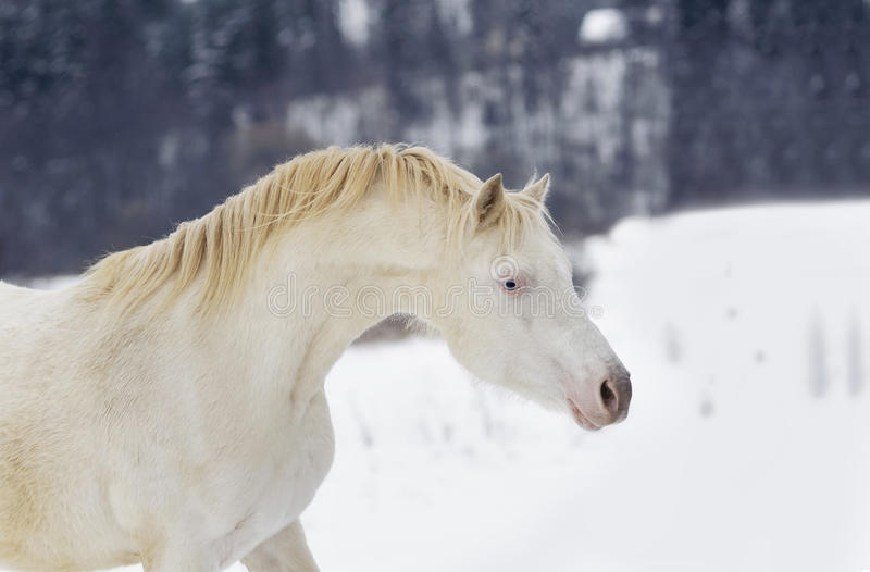 Garanhão do pônei de Perlino galês no retrato da neve imagem de stock