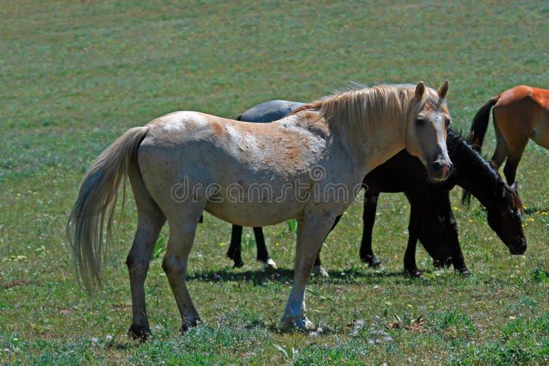Garanhão do parafuso prisioneiro do Palomino do mustang do cavalo selvagem (este é garanhão selvagem das Montanhas Rochosas - o p fotografia de stock