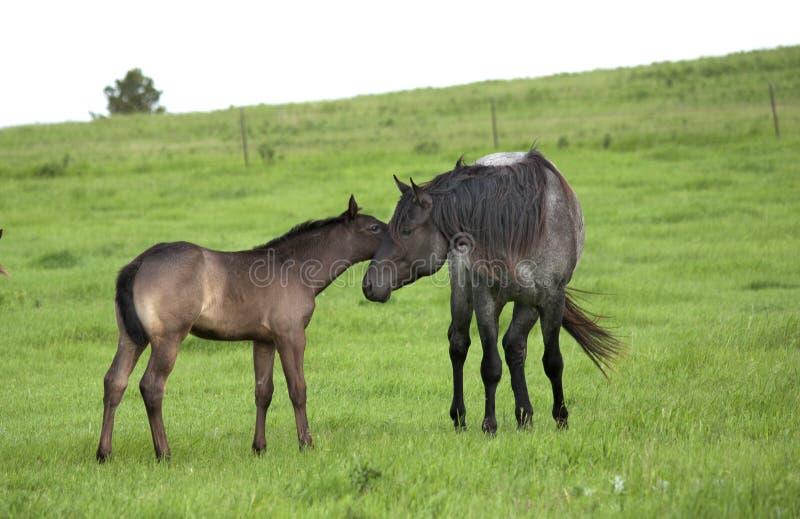 Garanhão e potro de um quarto do cavalo foto de stock royalty free