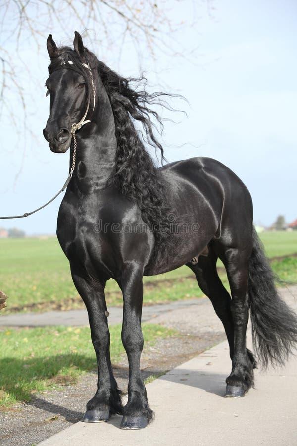 Garanhão lindo do frisão com cabelo longo foto de stock royalty free