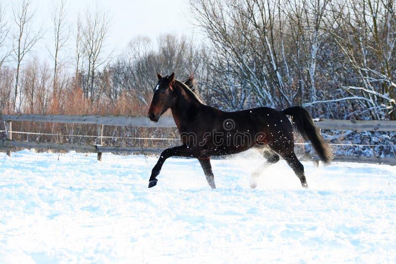 Garanhão na neve branca imagem de stock royalty free