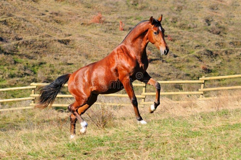 Download Garanhão Novo Do Louro No Prado Foto de Stock - Imagem de gallop, potro: 16867954