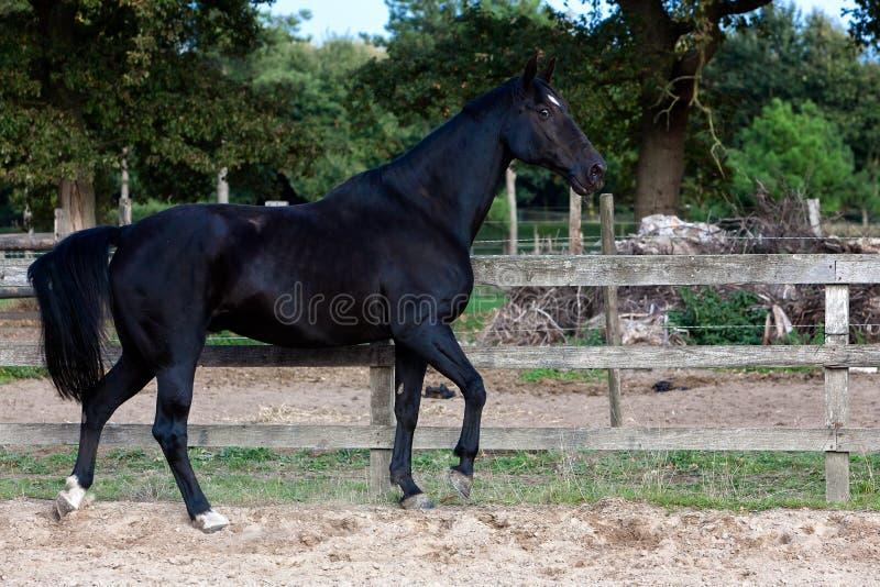 Garanhão preto que anda livre fotografia de stock royalty free