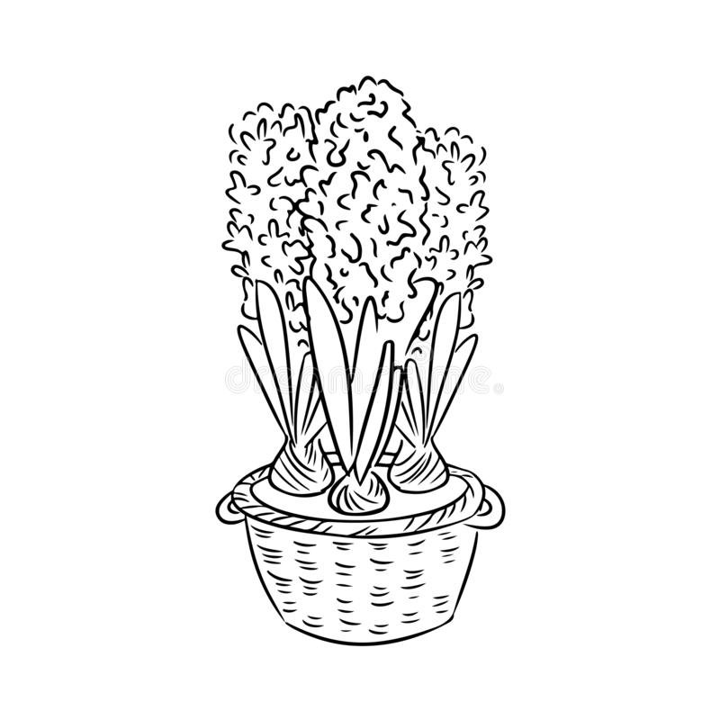 Garatuja do esbo?o dos jacintos Flores da mola em uma cesta ilustração royalty free