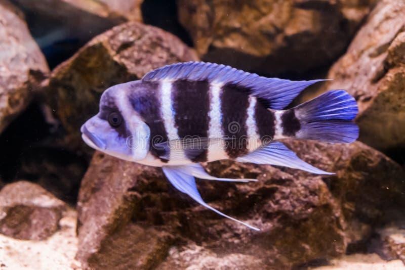 Garbacieje kierowniczej cichlid ryby w zakończeniu, ryby z garbkiem na, błękitnej i biel skrzyknącej jego kierowniczym, popularny zdjęcie stock
