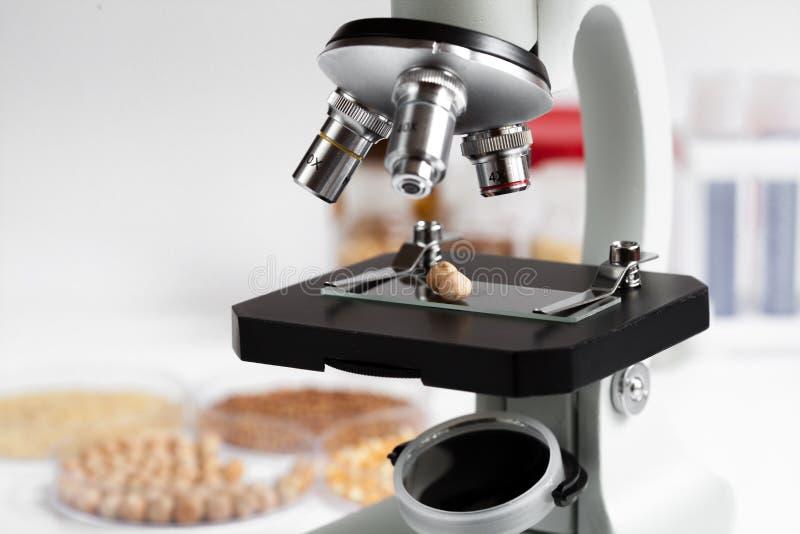 Garbanzo en diapositiva del microscopio en laboratorio de productos alimenticios imagen de archivo