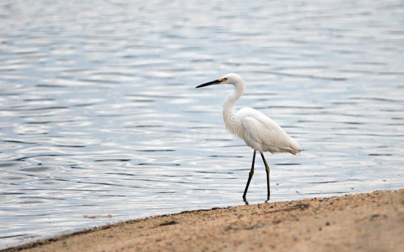 Garceta blanca que camina en la orilla de la laguna de la reserva natural en San Jose del Cabo en Baja California México foto de archivo libre de regalías
