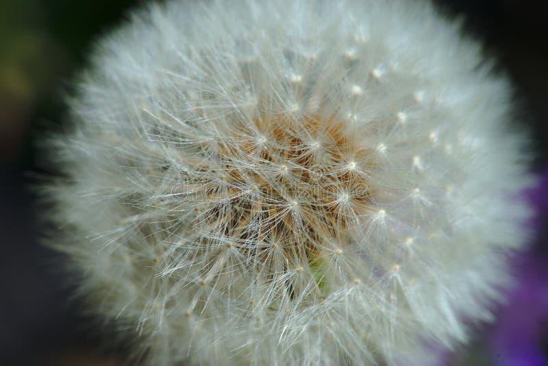 Garceta de la flor del diente de león fotografía de archivo