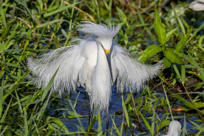 Garceta nevada con las plumas sopladas, protagonizando en el agua para los pescados fotos de archivo