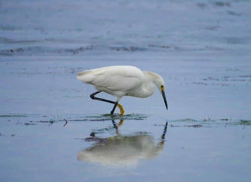 Garceta nevada que vadea y que caza a lo largo de la playa imagen de archivo