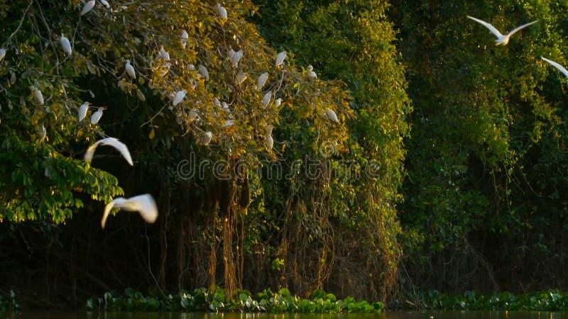 Garcetas blancas sobre árbol atlántico de la selva tropical en la reserva ecológica REGUA de Guapiacu imágenes de archivo libres de regalías