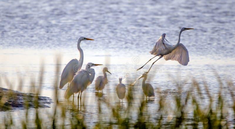 Garcetas y garzas, Hilton Head Island de la ave costera foto de archivo