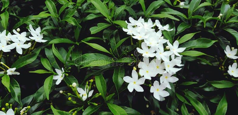 Gardénia frais ou fleur blanche avec les feuilles vertes pour le fond au jardin de flore images stock
