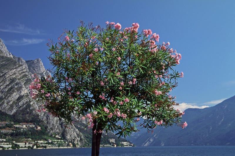 garda jeziorny nerium oleanderu drzewo zdjęcie royalty free