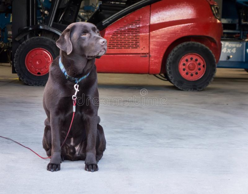 Garde Dog de Labrador de chocolat photos libres de droits