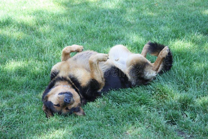 Garde Dog Naz endormi ! images stock