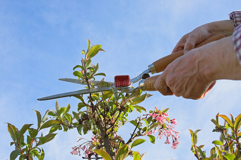 In the garden. A man cutting plants in the garden stock photography