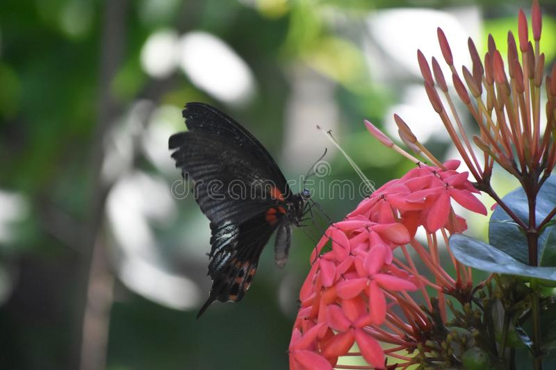 Amazing Scarlet Swallowtail Butterfly in a Garden. Garden with an amazing scarlet swallowtail butterfly royalty free stock photo