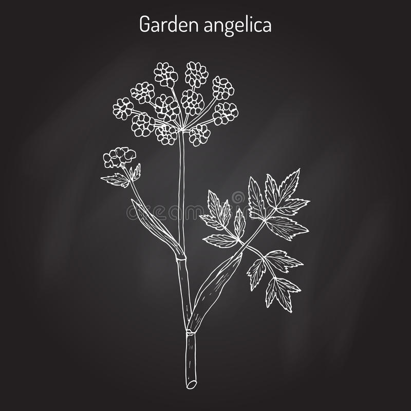 Garden angelica Angelica archangelica , or wild celery. Hand drawn botanical vector illustration royalty free illustration