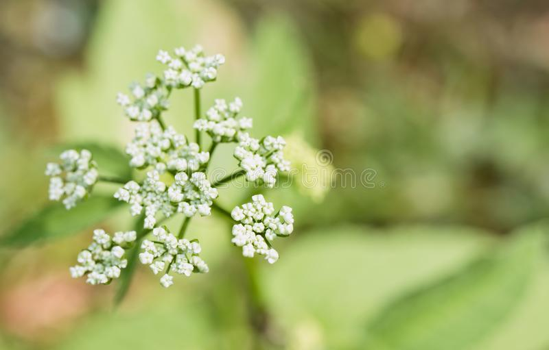 Blossom of garden angelica from close-up. Garden angelica is blossoming in the garden in summer. A lot of people thinks that it is weed but it is healing herb royalty free stock photo