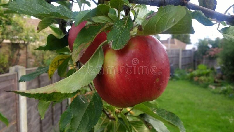 Garden apple stock image