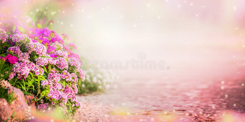Garden background with pink garden flowers, banner. Floral Outdoor background with carnation flowers royalty free stock photography