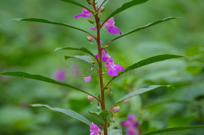 Garden Balsam or Rose balsam. Plant and Flowers of Garden Balsam or Rose balsam Spotted snapweed or Touch me not stock photo