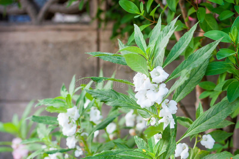 Garden balsam. Tree and flower royalty free stock photography