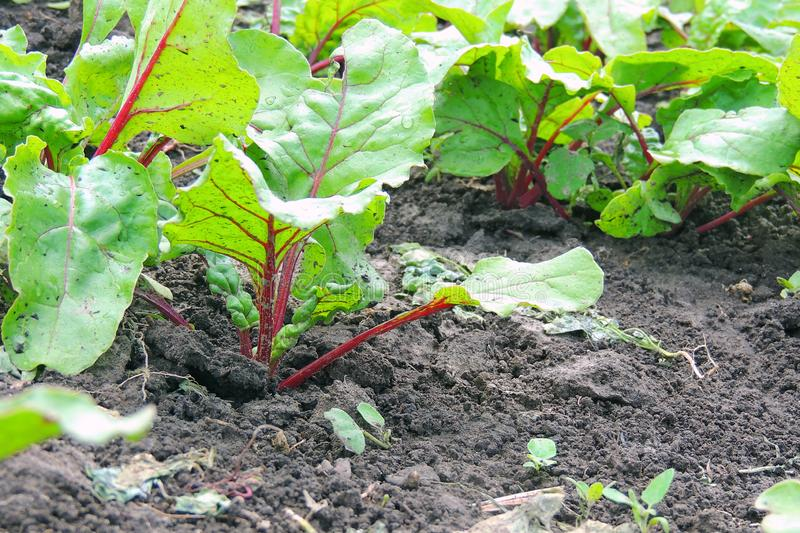 Garden bed of beet royalty free stock images