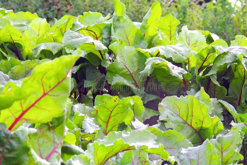 Garden bed of beet stock images