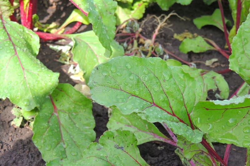 Garden bed of beet stock photography