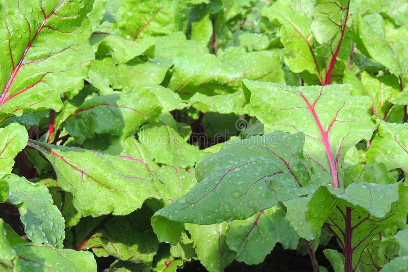 Garden bed of beet stock image