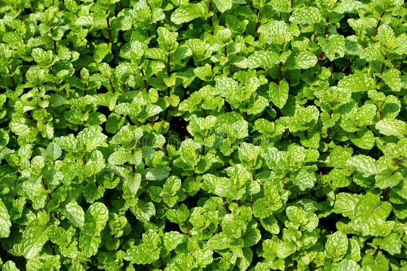 Garden beds with green leaves of mint. royalty free stock image