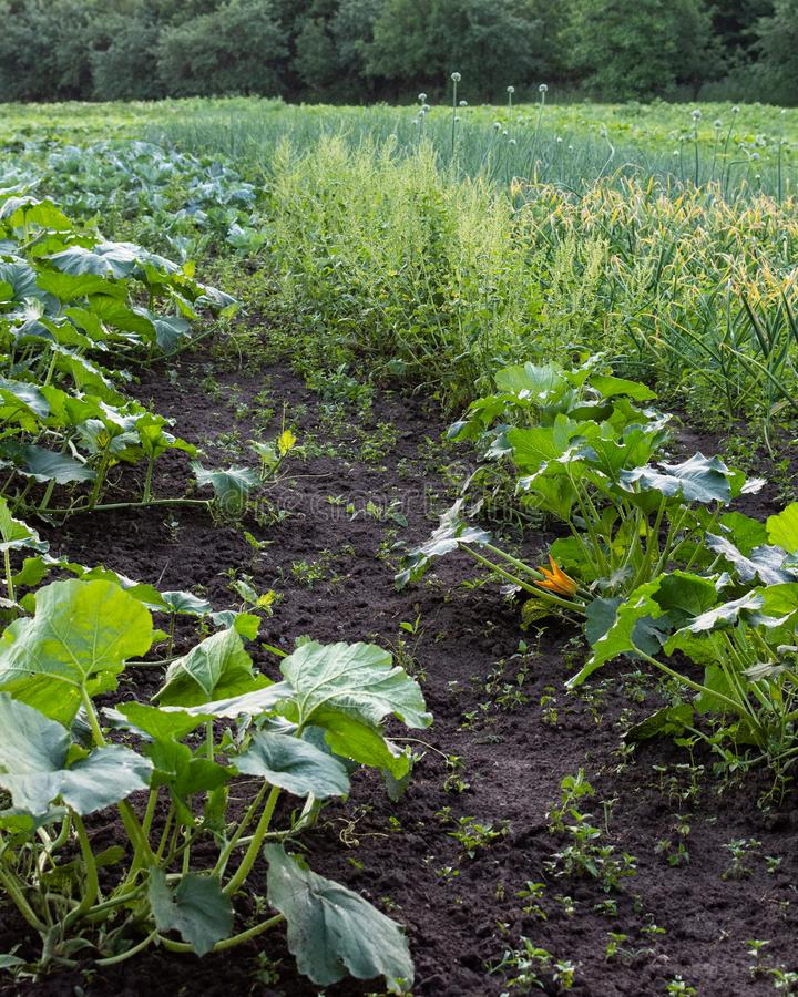 Garden beds with green pumpkin leaves royalty free stock photos