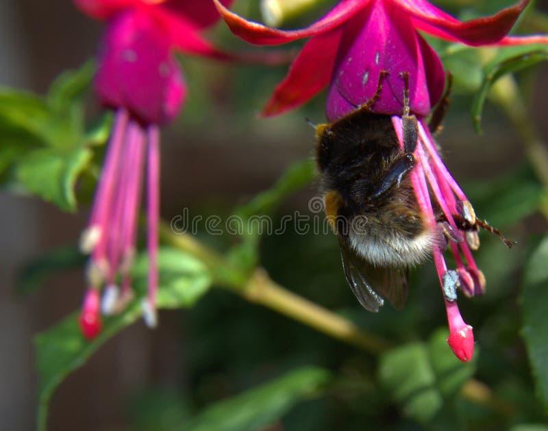 Garden bee (Bombus Hortorum) with fuschia royalty free stock photography