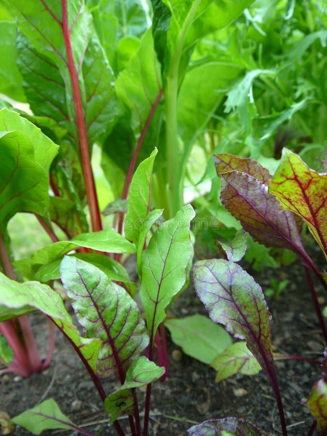 Vegetable Garden: Beet Plants V Stock Photos