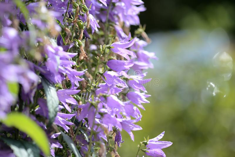 Garden bell perennial in the summer garden lit by the bright sun stock photos