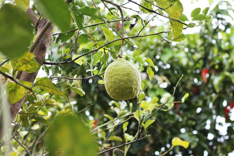 In the garden. Bergamot ripens on a tree royalty free stock images