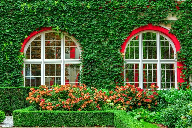 Garden with blooming hydrangea and building wall, covered with overgrown ivy plant stock photo