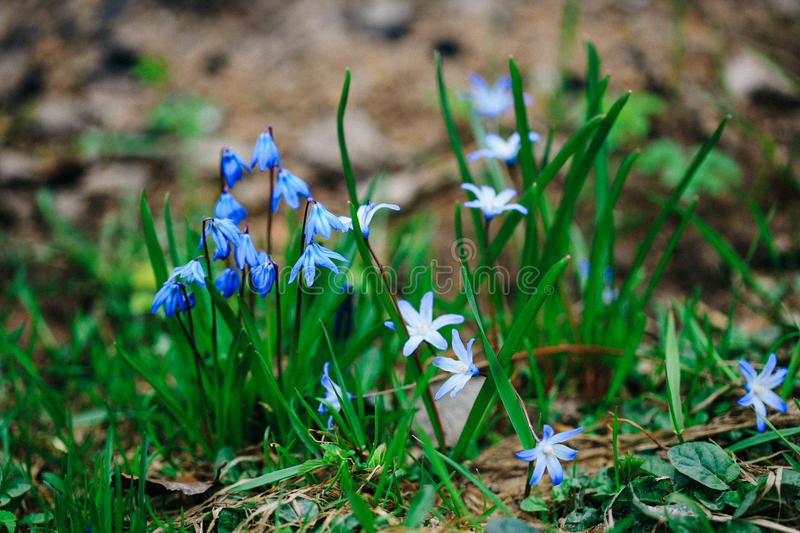 Garden blooms profusely tiny blue flowers. Garden blooms profusely blue flowers stock image