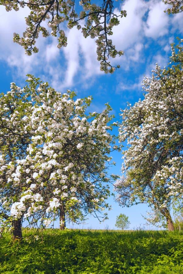 Garden of blossom apple stock photography