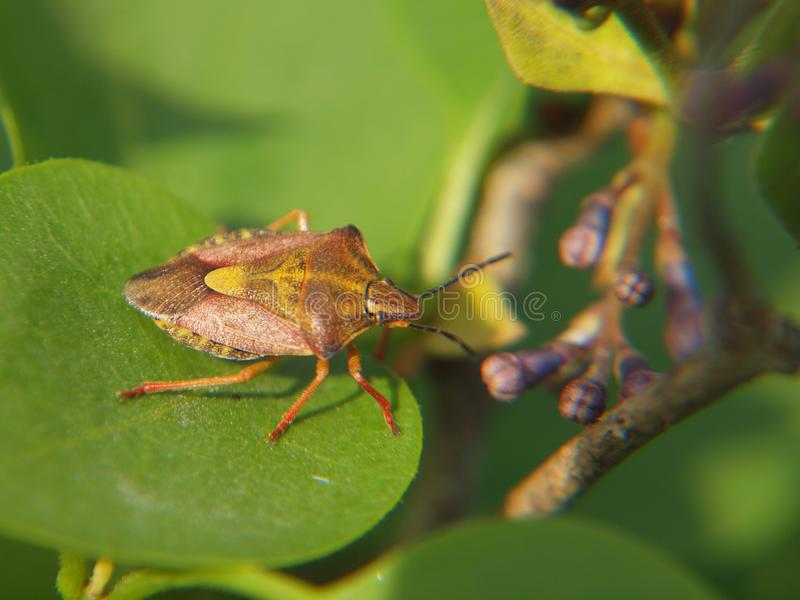 Garden bug on Syringa. Brown and green garden bug Carpocoris fuscispinus on a leaf of common lilac Syringa vulgaris closeup macro photo taken summer 2019 in royalty free stock photos