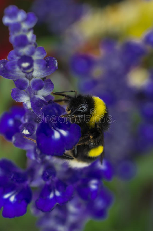 GARDEN BUMBLEBEE Royalty Free Stock Photo