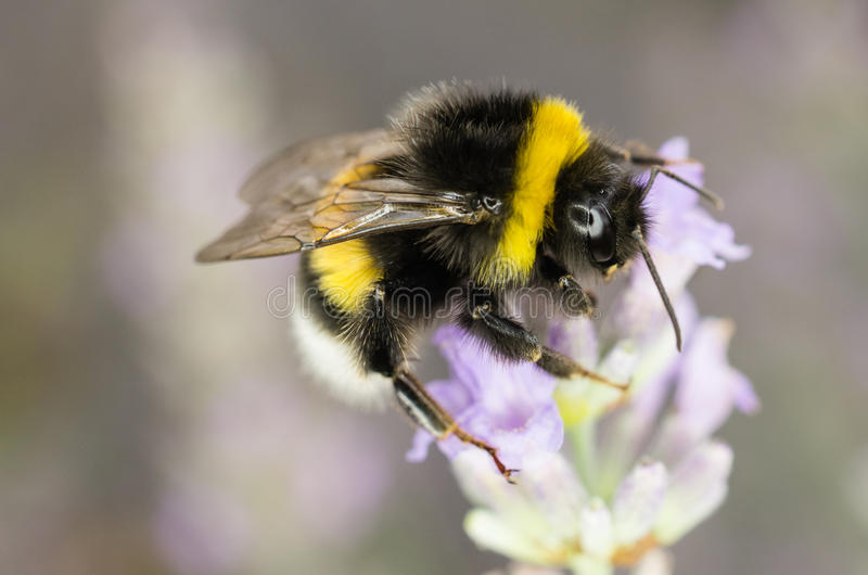 Download Garden Bumblebee stock photo. Image of blurred, hortorum - 32837844
