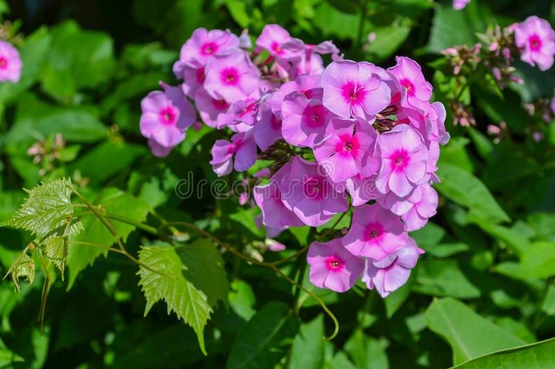 Garden bush with pink little flowers stock images
