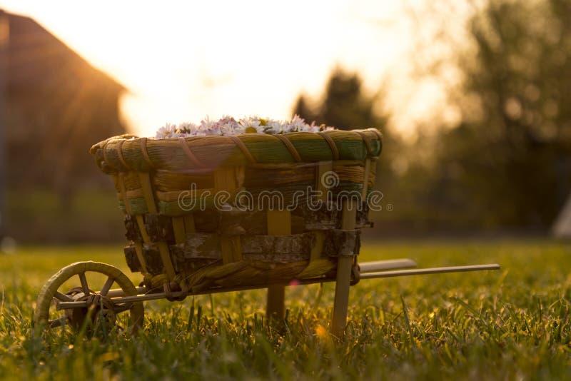 Garden cart full of daisy. Lot of daisy in garden cart during sundown royalty free stock photos