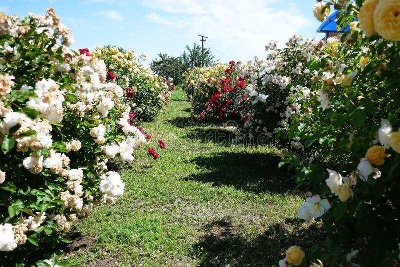 Garden Center para a venda das rosas P?talas cor-de-rosa Multi-colored Detalhes e close-up fotos de stock royalty free