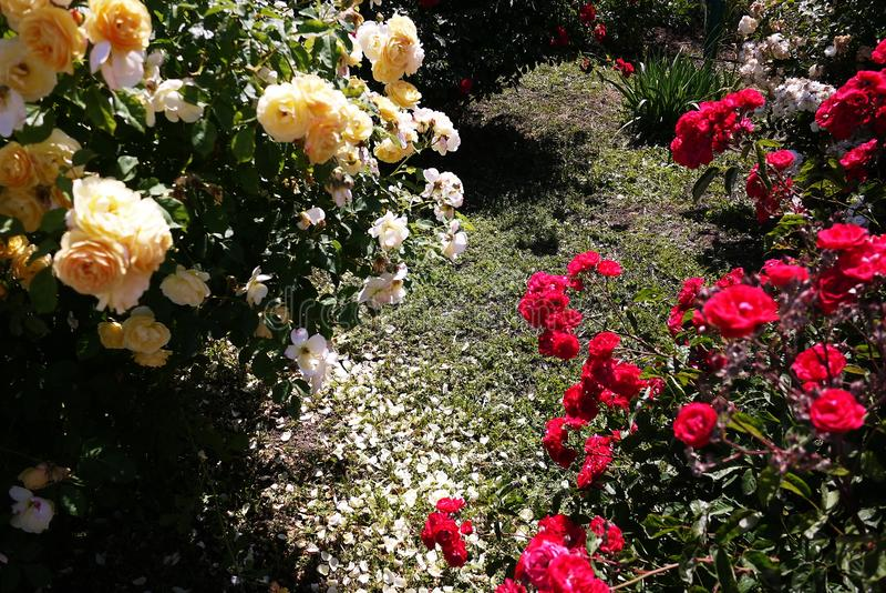 Garden Center para a venda das rosas P?talas cor-de-rosa Multi-colored Detalhes e close-up foto de stock